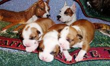De Paco puppies
